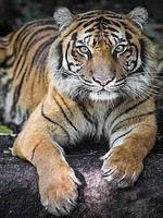 fond d'ecran anime tigre