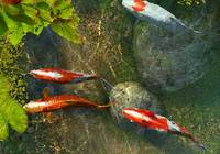 Koi Fish 3D Screensaver