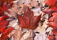 Canadian Trees Screensaver