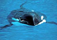 Free Blue Whales Screensaver