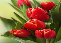 Tulipes Fond D'écran Animé