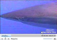 Requins écran de veille