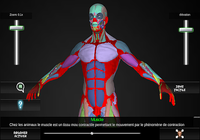 Système Musculaire 3D Anatomie