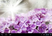 Gouttes de pluie sur lilas