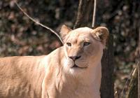 Free Lions Screensaver