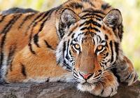Tigre Fond D'écran Animé