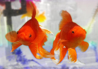 Free Goldfish Screensaver