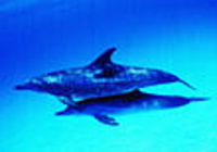 Free Dolphin Screensaver