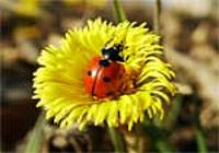 Free Ladybug Screensaver